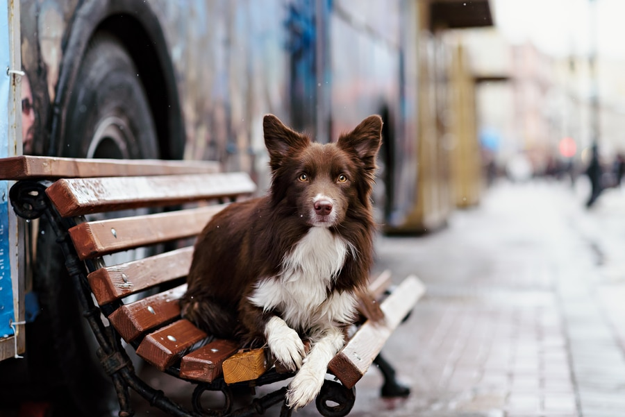 bigstock Border Collie Dog Trained To P