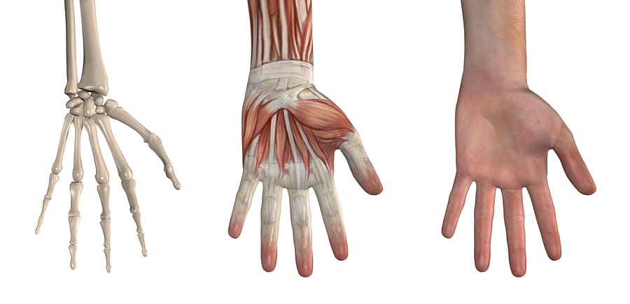 bigstock Anatomical Overlays Hand